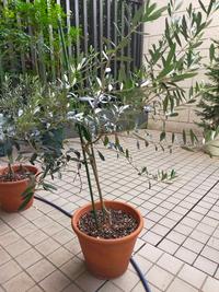 オリーブの育て方についておしえて下さい。 小さい苗を購入し、5年目のオリーブなのですが、画像のようにひょろひょろです。幹を太くするにはどうすればよいのでしょうか?鉢を大きくする、枝を切り落とす、などのアドバイスを下さい。宜しくお願いします。今、80cmぐらいの丈になっています。