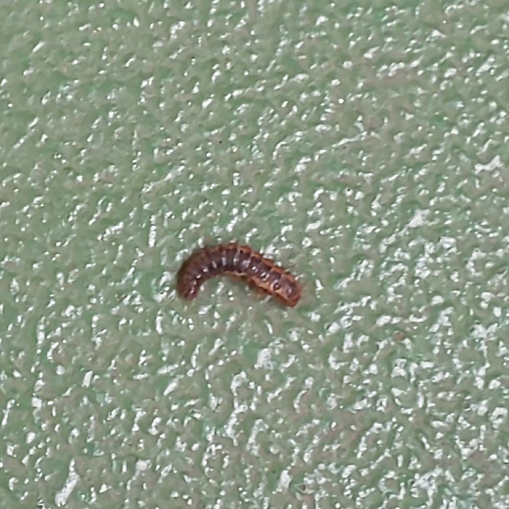 この幼虫?毛虫?はなんでしょうか? 大きさは1cmくらいで、よく見ると体に細かい毛が生えています。 アパートの3階に住んでいるのですが、玄関を開けたら床に5匹いました。
