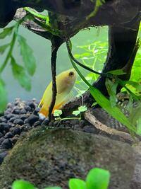 ハニードハフグラミーのしっぽがこんな感じで白いのですが、病気でしょうか?他の魚にいじめられて尻尾が傷んだところが病気になっているのでしょうか?