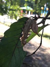 これはなんの虫ですか? どんぐりの木についてました