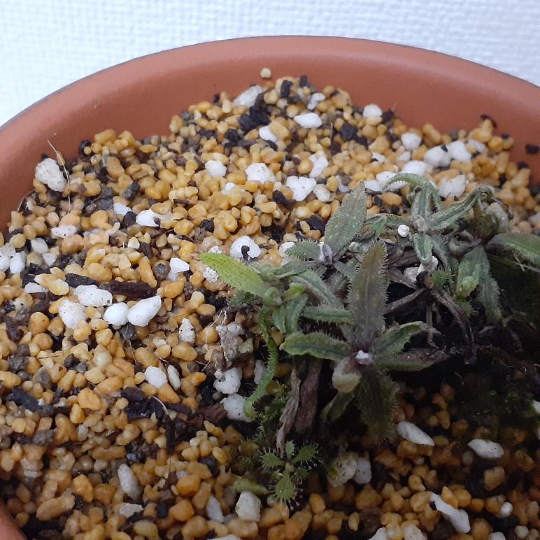 食虫植物について2個質問です。 一つ目は、 枯れかけた(3.5ヶ月前に少し薄めた肥料を水に混ぜたものを、あたえてしまって、肥料やけをおこした)アデラエが少しずつ復活してきました❗ですが新しい粘液のついた葉がつきましたが枯れてしまってくるを繰り返し起こります、これを治すためにはどうしたらよいでしょう? 二つ目は、明日に(最高気温29度、最低気温20度、晴れのち曇り)にネペンテス ミランダとネペンテス ジェントルをできれば植え替えたい(プラスチック(黒)から駄温鉢か、素焼き鉢に植え替えたいだけです)のですが植え替えても大丈夫でしょうか? 長文、読みにくい文失礼しました。