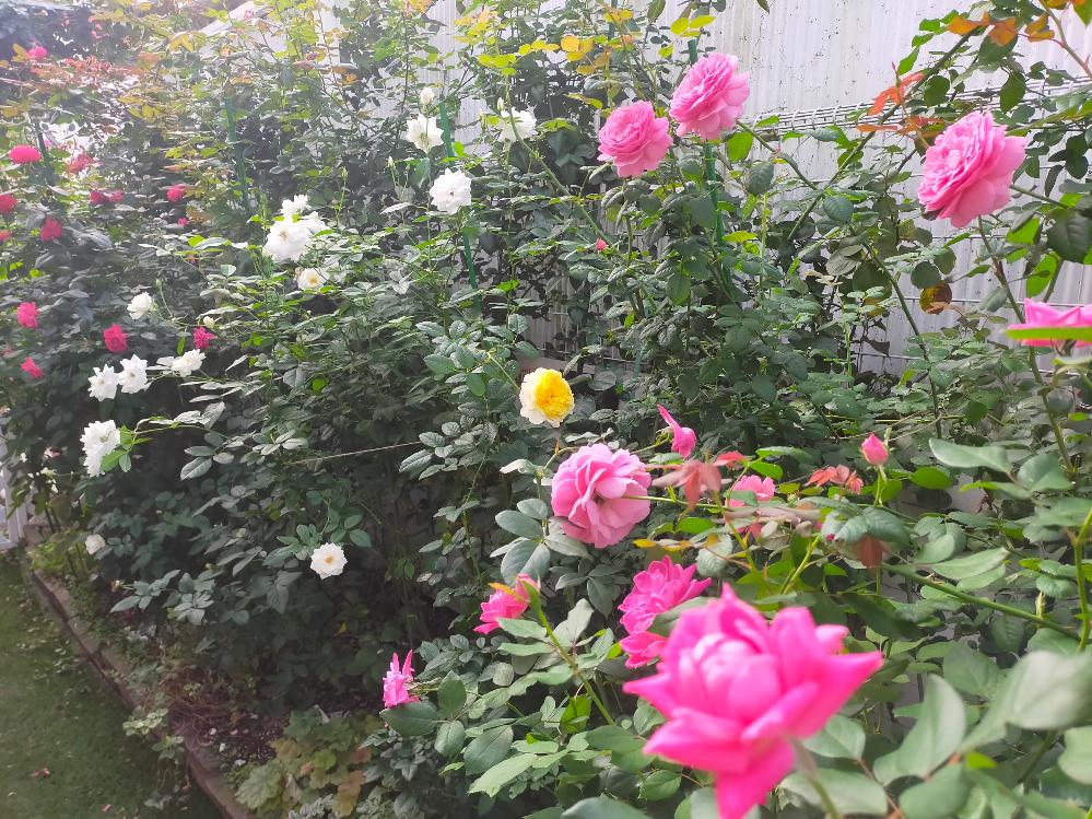 四季咲きのつるバラのことでご相談です。 少し奥行のある花壇(1.2mくらい)の1番奥に、マリーヘンリエッテ、クリスティアーナ、ルージュピエール、ケルナーフローラを植えていて、その手前に四季咲きバラをあれこれ植えているのですが、同じように、花壇の1番奥につるバラを植えていらっしゃる方、つるバラの管理ってこの時期どうなさっていますか? 冬は、手前のバラを短く剪定してしまうので、奥のつるバラも問題なく誘引できるのですが、手前のバラが茂ってくると、奥に入っていけないので、咲き終わった枝を高枝バサミで切る事はできるのですが、夏に伸びた枝を横に倒して、くくったりができないので、伸びすぎたのはお隣に入ると悪いので、高枝バサミで全部切るしかなくて。。 この夏も横向きの太枝から沢山上に向かって細い枝が出たのですが、とにかく伸びすぎて、結局全部上の方は切ってしまっている感じで、伸びる度に先を切ると当然花が咲かなくて。。 同じように花壇の奥につるバラを植えていらっしゃる方はこの時期、どうなさっているのか気になりました。良かったら参考までに教えてください。 もう、つるバラは春だけと割り切って、他の季節は諦めかしら。。 下は最近撮った花壇の写真です。