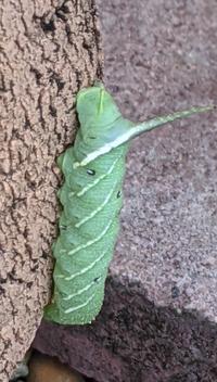 この毛虫の名前を教えてください。