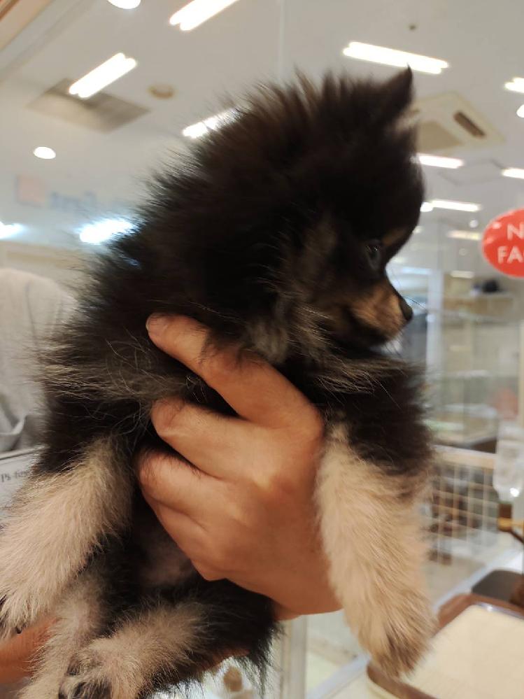 こちらの写真のポメラニアンの成犬後はたぬき顔かキツネ顔どっちだと思いますか? またカラーは何だと思いますか?