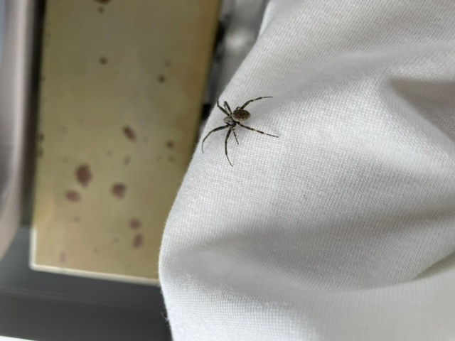 この蜘蛛の名前を教えていただきたいです!