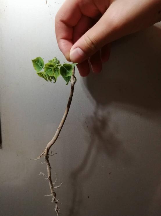 この葉っぱは何かわかりますか? 田んぼの土手にあり、草だと思ったら、木みたいな根っこだったのですが。 可愛い草だと思ったら、木?