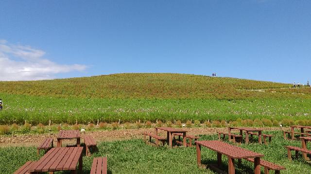 茨城県ひたちなか公園 . 9月29日に行ってきましたが、今旅行サイトを見たところ、みはらしの丘ではコキアが赤く咲き誇ってるとか。 コキアカーニバルは例年10/2~31と書かれていますが、真っ赤な見晴らしどころか、まあるいサボテンが並んでるような印象しか持ちませんでした。 私はそんなもったいない見逃し方をしたのでしょうか。コキアはいきなり咲き始める花?