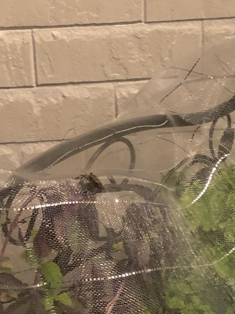 屋上で、鉢植えの紫バジルに黒いカメムシが同化するように付いてきます。仕方ないので防虫ネットをしましたが、ネットの上に止まっています。 隣にはペパーミント、近くにはアロマティカス、屋外用の虫除け置いてます。ダイソーで買った防虫ネットですが卵産んだりしますか?何度も放り投げたりしてますが、どこからともなく飛んできます。他に良い予防策や方法有れば教えてください