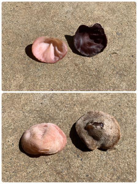 天然きのこのアラゲキクラゲなんですがピンク色のがあります。 同じアラゲキクラゲなんでしょうか? わかる方居たら教えてください。
