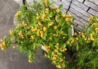 この小さな黄色い実がなる植物の名前を教えてください。