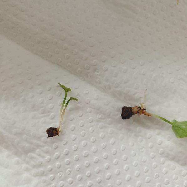 庭にこの雑草がちょこちょこと生えてきます。 一つの葉で、かわいれ大根のように、白い茎のようなものがひょろひょろとしています。 抜くときも、数センチしか生えていないので、抜こうとすると、プチッと切...