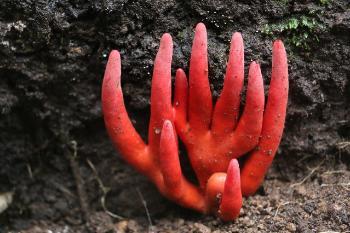 地球上で最も危険な毒キノコはカエンタケで間違いないですか?