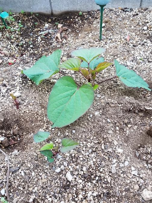 さつま芋について教えてください。家庭菜園でさつまいもを植えてます。9月の下旬に芋掘りをして全て収穫したはずでしたが今になって再び芽が出て育っています。やっぱり冬を越させるのは厳しいですよね?