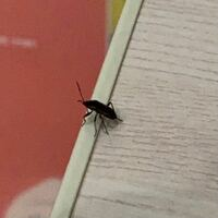 この虫は何ですか?ゴキブリの赤ちゃんでしょうか?