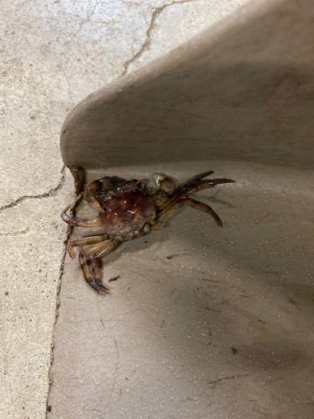 庭掃除してたら蟹の死骸がありました。近くには川とかはありません。陸上で生活できる蟹を調べましたが、アカテガニというのしか、出てきません。見た目違うような気がします。どなたかご存知の方いらっしゃいました ら教えて下さい。よろしくお願い申し上げます。