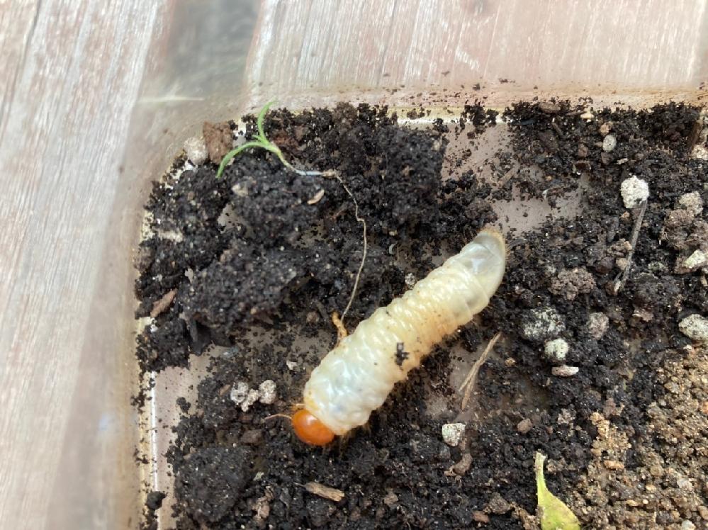 この虫はなんの幼虫ですか?コガネムシ?