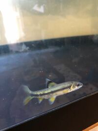 画像の魚の名前が知りたいです。餌用で仕入れた魚の中に紛れてました。 とても綺麗で色々調べても似ている魚はありますが、特定出来ないので御教授願います。