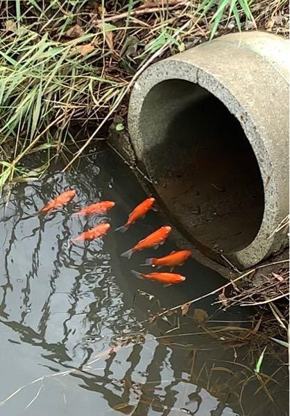 近くの川に魚の集団が住んでるのですが、これは金魚、ヒブナどっちなんですかね?