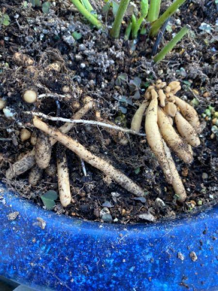 これhs何の球根!?でしょうか。 畑を整理していたら沢山出てきて悩んでます。 教えてくださいませ。 よろしくお願いします。