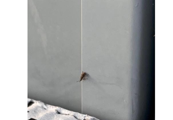 画像の虫が大量発生しました。 なんの虫かわかる方いましたら教えて下さい。 外の段ボール付近に大量にいます。