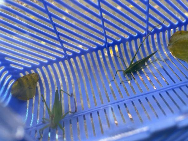 この二匹の虫の名前を教えてください。 子ども達はマツムシというのですが。