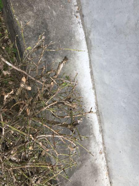 庭の木がこの虫に食い尽くされました。 なんと言う種類なんでしょうか?
