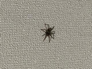 質問失礼します。 先程家の中で見た蜘蛛なのですが、なんていう蜘蛛だかわかる方いらっしゃいますか? 壁にいたので近くの壁をコン!って叩いたらピョンって勢いよく床に飛んで、そのあとかなりの速さでカーテンの影に走り去って行きました。 体長は1センチ〜1.5センチないくらい、脚を入れると2.5センチくらいあったかなぁ?って感じです。 アシダカグモは度々家の中で見かけるのでアシダカグモでは無い感じです。 よろしくお願いします。