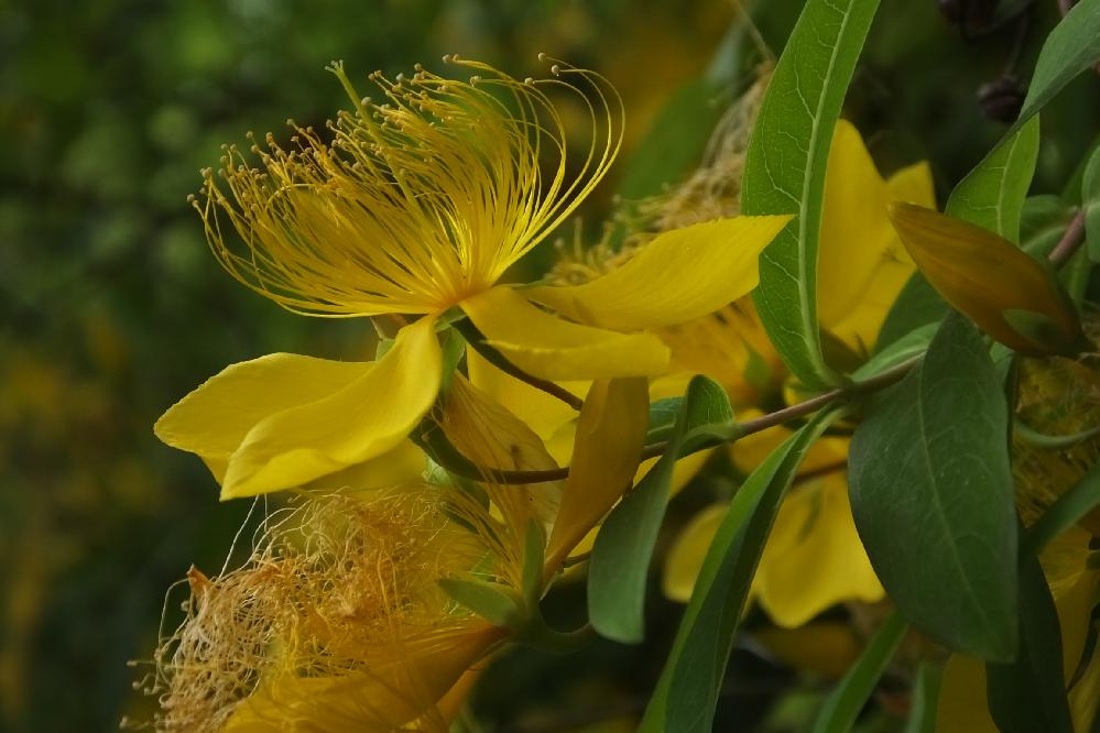 この黄色い花は何ですか? ヤマブキかと思いましたが、葉が違うようです!!