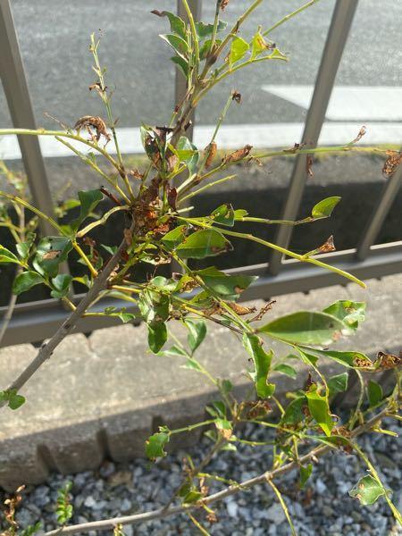 教えてください。 シマトネリコって言うんですかね? その低木が何かの害虫にやられてるみたいですが、害虫の種類や、効く薬剤など分かりますか?