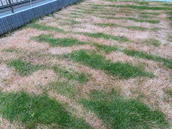 先日ふとみたら芝生が写真のようになっていました! 寒くなってきたから芝生が枯れてきたのかなとも思いましたが、模様状になっているのでおかしいなと思い質問させていただきますm(_ _)m 少し前に妻が芝生用のスプレータイプの除草剤をかけたみたいですが、そのまえから黄色かったと言っていましたが関係あるのでしょうか? それか病気になってしまったの可能性もありますでしょうか? これから対策をしていきたいのですが、何をしていいのか分からなかったのでわかる方におしえていただきたいですm(_ _)m