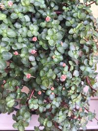 画像の植物の名前がわかる方がいらっしゃったら教えてください。 ホームセンターで買いましたが育て方を調べたいです(^-^) よろしくおねがいします。