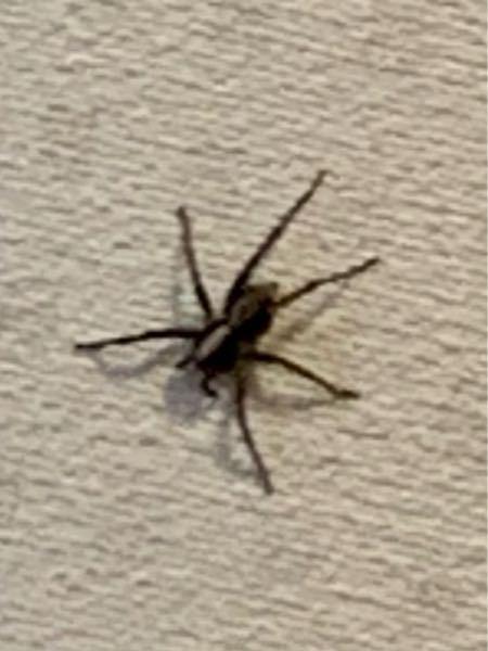 虫の画像注意 蜘蛛に詳しい方!洗面所(脱衣所)に大きな蜘蛛が出たんですが、足が六本しか無かったのでなんていうやつなのか気になります。顔当たりに小さな突起が2本ありますがそれは口ですか?また害はありません か?