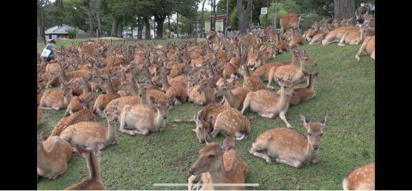 奈良公園でこの様に鹿が1箇所に集まっていることがあるみたいなんですが何故1箇所に集まるんですか?