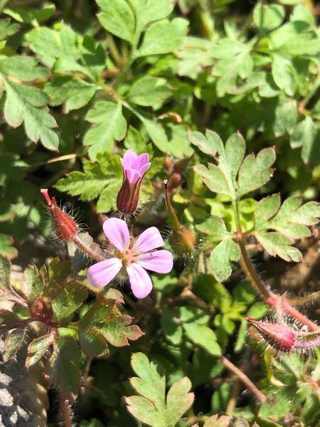 この植物の名前がわかる方教えてください。 三重県の鈴鹿山脈の藤原岳で撮影しました。