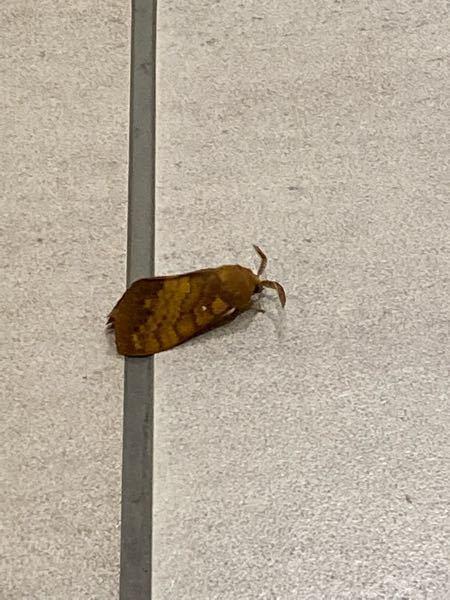 この虫の名前が分かる方いますか? 見たところ蛾の1種っぽいんですけど…