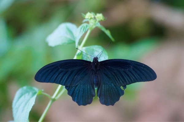 この蝶の名前を教えてください