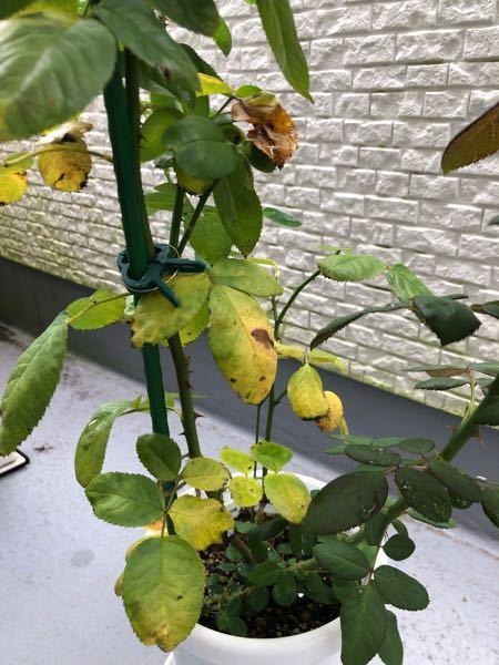 秋に入りバラの葉が黄色くなってきました。 原因がわかりましたらご教示下さい。 鉢はおそらく苗に対して小さいかと思いますが、今時期の植え替えに失敗するのが嫌なので冬まで待って植え替えする予定です。 挿し木から育てています。 最近やった事とすれば、オルトランと肥料を撒きました。 ただ肥料などあげる前から、葉は黄色かったと思いますので肥料やけではないと思うのですが、改善させるにはどうしたら良いでしょうか。 品種はカインダブルーです。