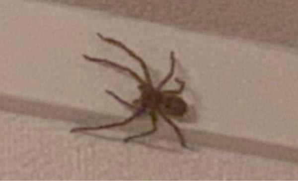 この蜘蛛は毒ありますか? なんて名前かわかりますか? 家の中にいてとても恐怖です 誰か教えてください