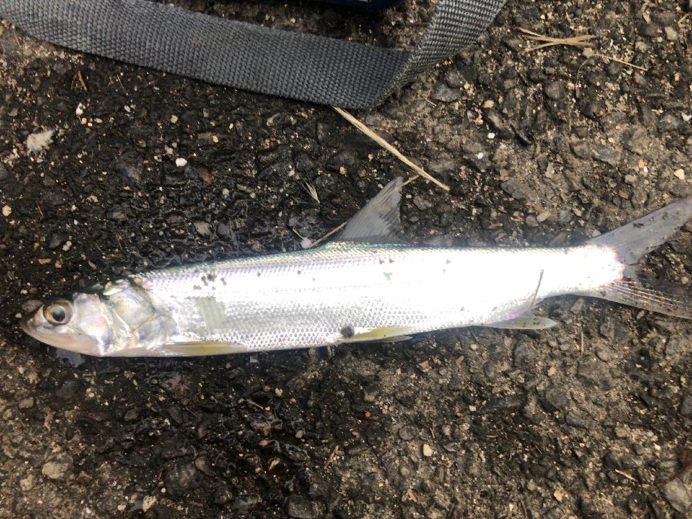 この魚がわかりません。河口の汽水域でゴカイで釣れました。食べられる魚か教えてください。