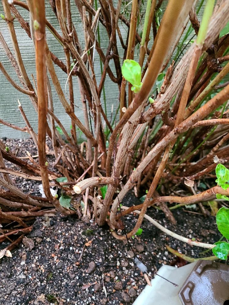 紫陽花について質問です。 15年ほどの紫陽花ですが、枝が枯れて根本からポキポキ折れてます。 シロアリみたいな虫も見つけました。 何が原因なんでしょうか? 二本有りますが両方ともです。 かれていない枝には新芽はついてます。