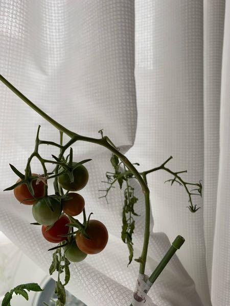 ミニトマトを室内で育てています。 これで最後の実かなというところで、自分の不注意で枝がポキッと折れてしまいました。(完全に折れてはいません) 慌てて対処法を調べて、ど素人なりに家にあったマスキングテープで応急処置をしてみましたが、実は少しずつ色がつくものの、葉っぱはだらんとしてしております。 これはもう食べれないと判断して諦めた方が良いのでしょうか? ご回答よろしくお願い致します。