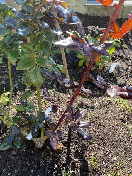 秋にバラのベーサルシュートが出たのですが、寒冷地で雪の降る地域なので根本から切ってしまった方が良いでしょうか?
