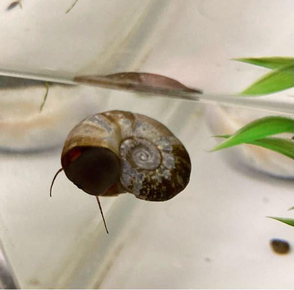 この写真の貝は、ヒラマキガイらしいのですが、 ヒラマキガイも種類があるらしく正式な名前は何になりますでしょうか? ちなみに寿命も知りたく存じます。