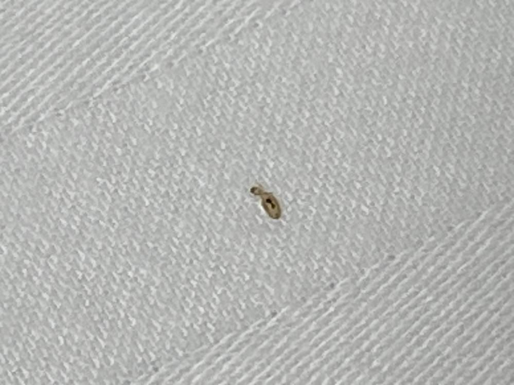 先日腕に虫刺されができました。特徴的な刺され方だったのでネットで色々調べてみたところ、トコジラミの可能性がありました。ベッドを見るとこんな虫がいたのですが…トコジラミですか?それともアタマジラミ? わ