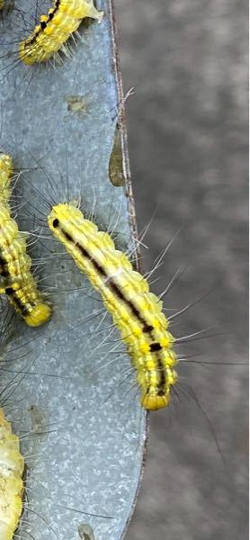 大量発生してます。何て蛾の幼虫でしょうか?毛に毒はありますか?