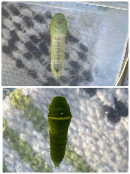 この子は、なんの蝶の青虫ですか?