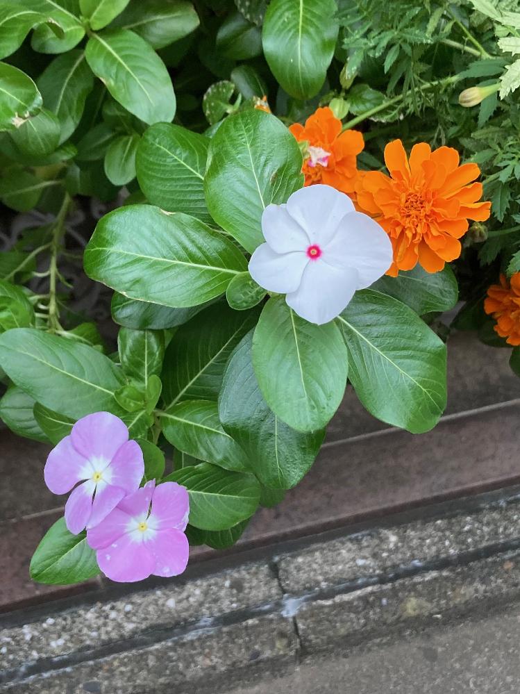 道端に咲いていました。結構きれいだな~と思いました。なんという花か、おしえていただけないでしょうか?よろしくお願いします。