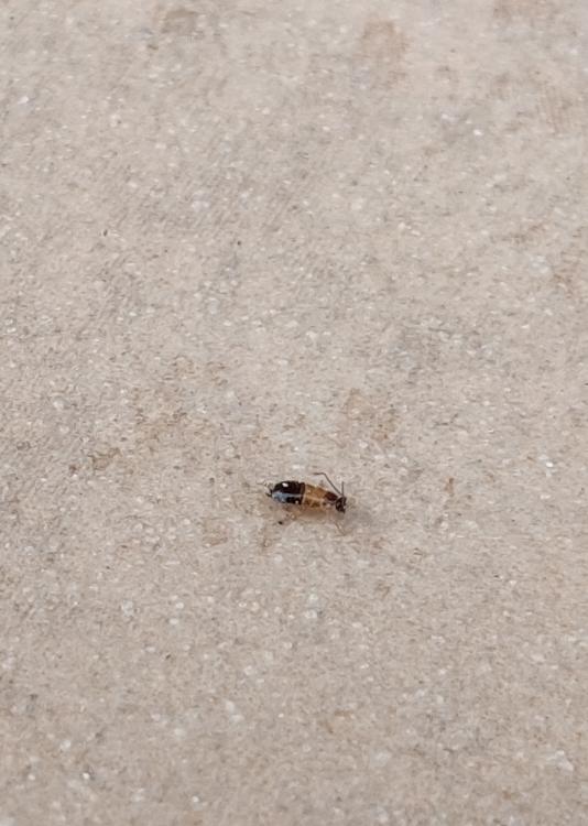 これはゴキブリの幼虫なのでしょうか?