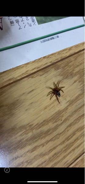これは何蜘蛛でしょうか 教えてください!!! 至急!