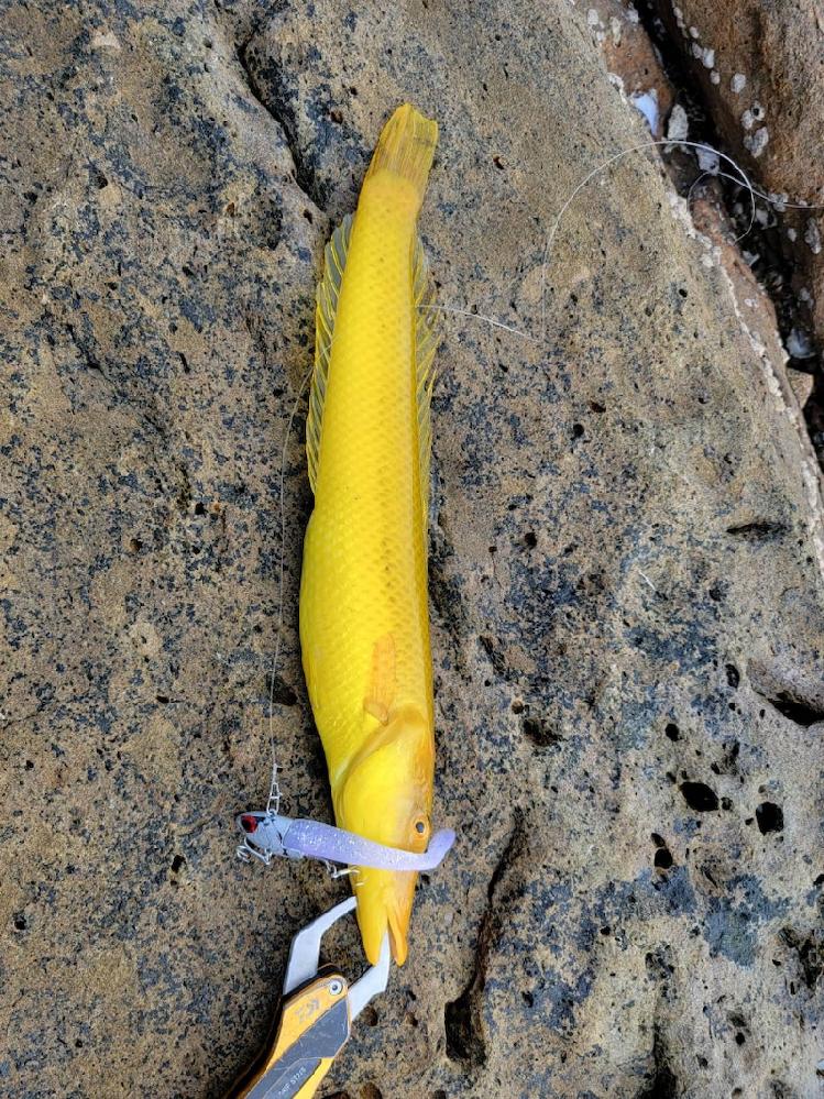 黄色いこの魚なにか分かりますか??